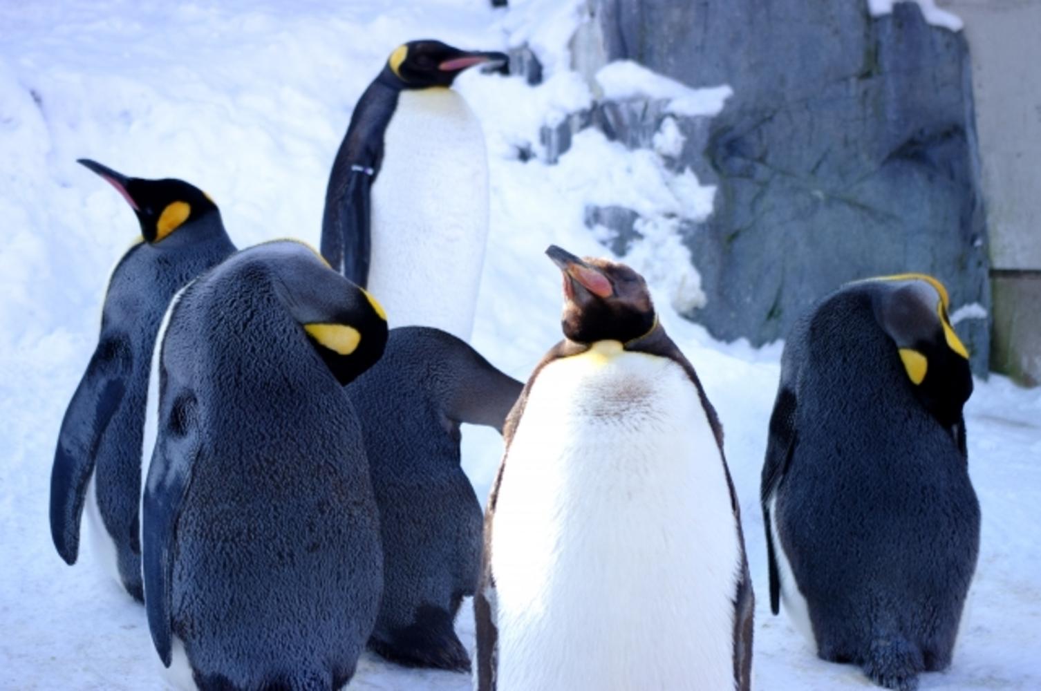 Asahiyamazoo penguins